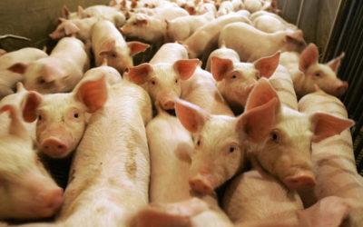 الصين : تفش جديد لحمى الخنازير الأفريقية في جنوب البلاد