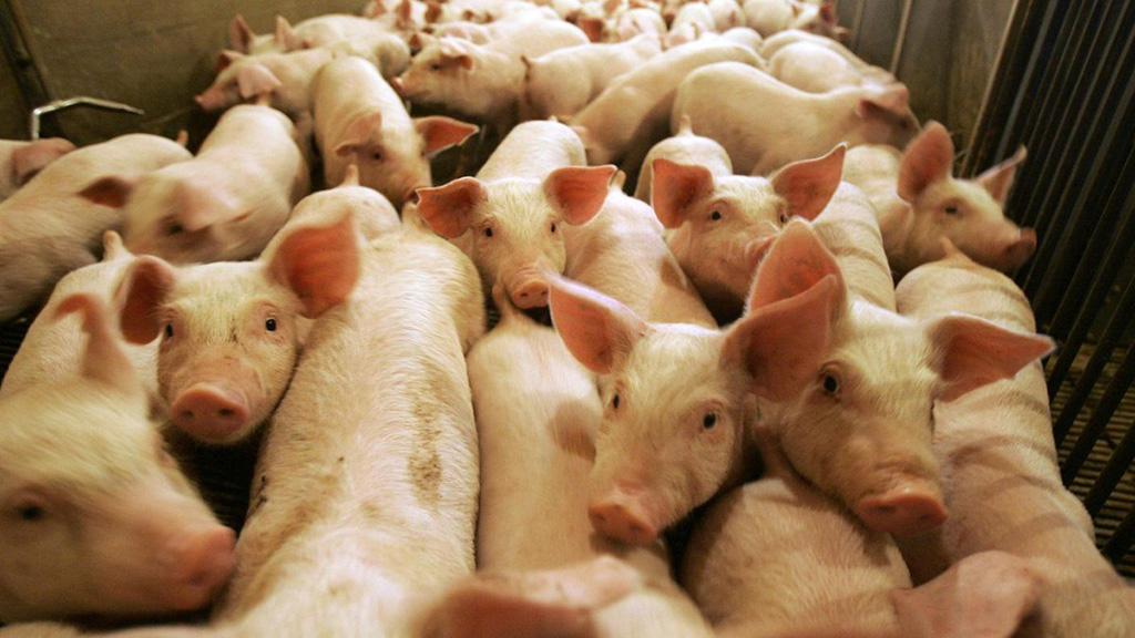 الصين رصدت بؤرة جديدة لحمى الخنازير في اقليم هيلونغجيانغ