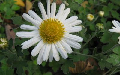 نبات بري شائع يحمل مفتاح القضاء على السرطان