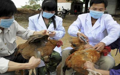 إعدام 200 ألف دجاجة في هولندا بعد اكتشاف بؤرة لإنفلونزا الطيور